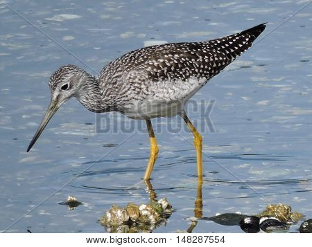 A Greater yellowlegs, Tringa melanoleuca,  in the shallow waters edge.