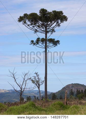 Araucaria tree (Araucaria angustifolia) in rural Tamarana County State of Parana Brazil.