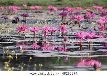 Beautiful blooming Pink Water lilies in the water