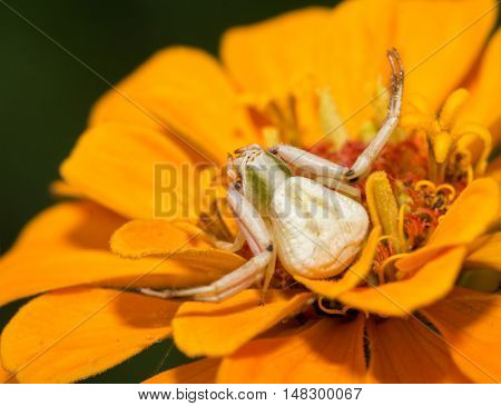 Female Crab spider, Thomisus, waiting for prey on an orange Zinnia flower