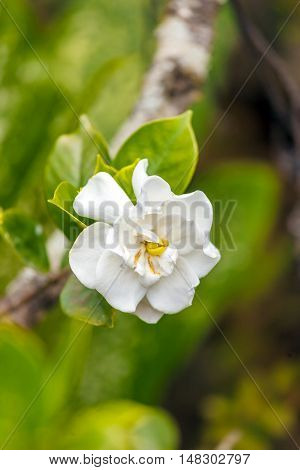 White Tropical Flower  In Topes De Collantes, Cuba