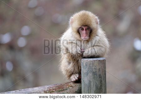Snow monkey sitting on fence. Jigokudani Monkey Park. Nagano. Japan.