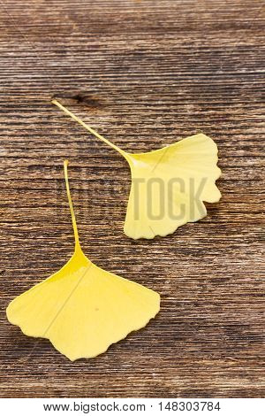 Fall fresh two yellow leaves of ginkgo biloba on wooden background