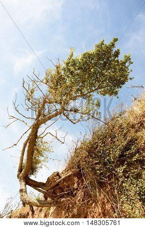 Windblown Tree And Beach Erosion