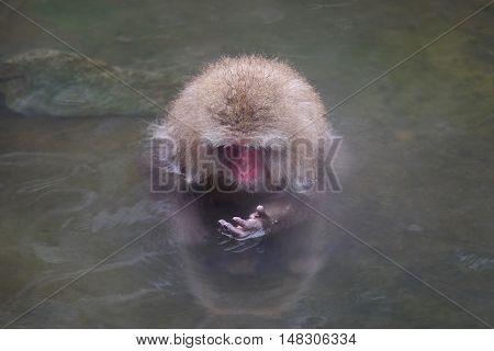 Adult monkey in hot springs. Jigokudani Monkey Park. Nagano. Japan.