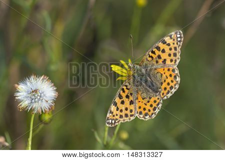 Queen of Spain Fritillary (Issoria lathonia) butterfly extracting nectar from Narrow-leaved Ragwort (Senecio inaequidens) with open Wings