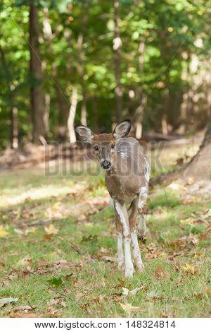 Female Piebald Whitetail Deer