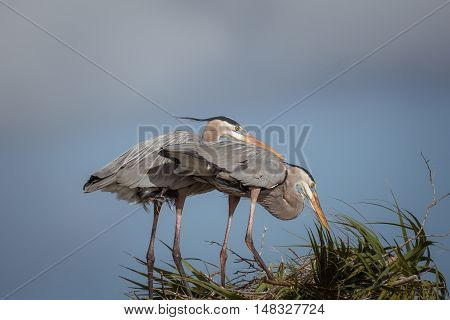 Two blue herons working on a nesting area