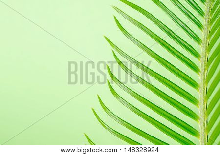 a tendril, macro of plant cycas on green background