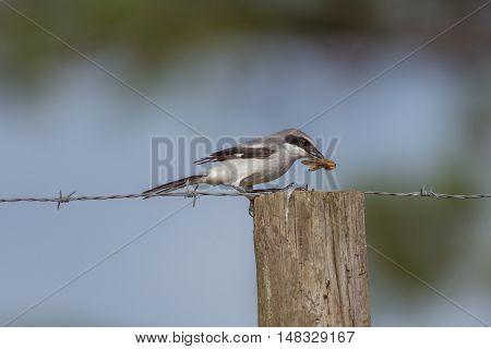 Loggerhead shrike eating a grasshopper on a post