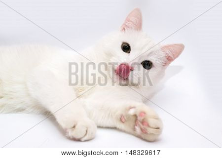 White cat. Cat stuck out his tongue. Cat's tongue. Cat on a white background