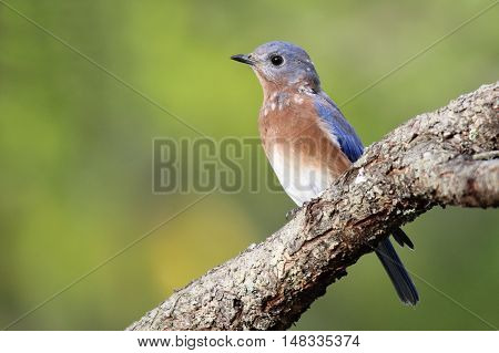 An eastern bluebird (Sialia sialis) perching on a branch in Fall.in