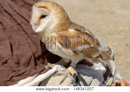 the big beautiful Barn Owl Tyto alba