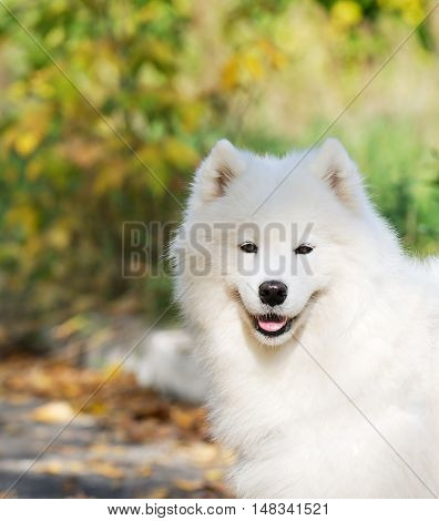 White spitz dog outdoor portrait over blurry background