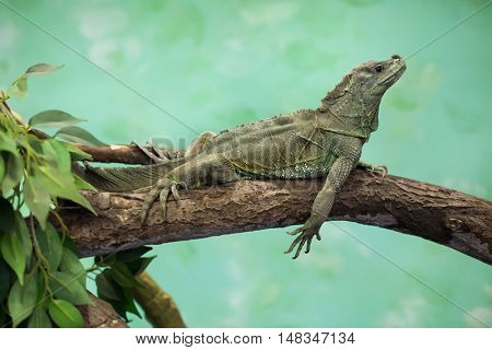Weber's sailfin lizard (Hydrosaurus weberi). Wildlife animal.