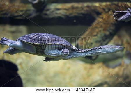 Siebenrock's snake-necked turtle (Chelodina siebenrocki). Wildlife animal.