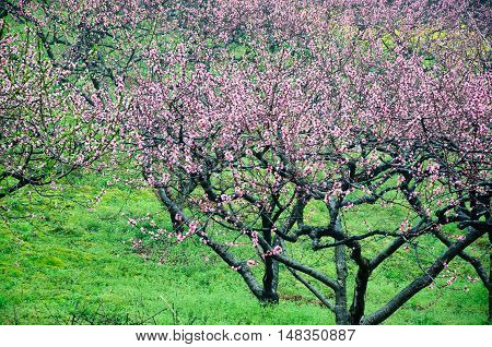 The peach flowers and rural scenery in spring