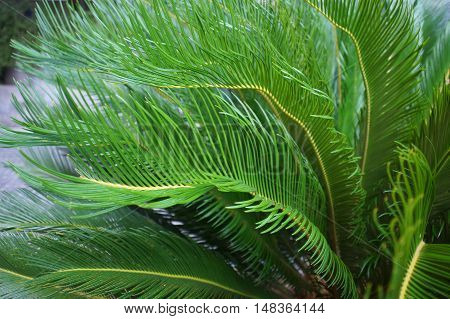 Cycas Cycad Tropical Palm Trees In The Yard