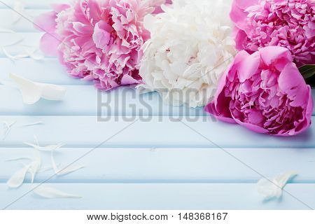 Beautiful pink and white peony flowers on blue vintage background with copy space for your text or design.