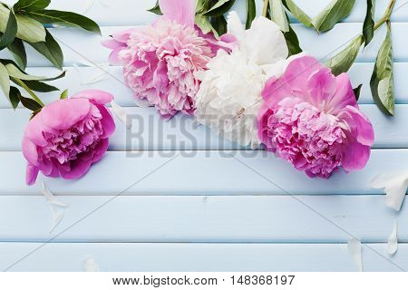 Beautiful pink and white peony flowers on blue vintage background with copy space for your text or design. Top view, flat lay.