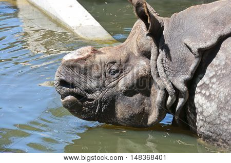 Indian Rhinoceros (Rhinoceros unicornis). It is a endangered species primarily found in north-eastern India and Nepal