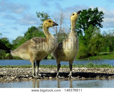 Canada Goose goslings standing at the water's edge.
