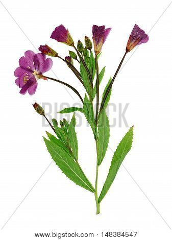 Pressed and dried delicate lilac flowers fireweed (epilobium hirsutum) on stem with green leaves. Isolated on white background. For use in scrapbooking floristry (oshibana) or herbarium.