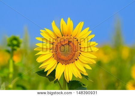 Blooming sunflower in the field under blue sky bee collects pollen organic background
