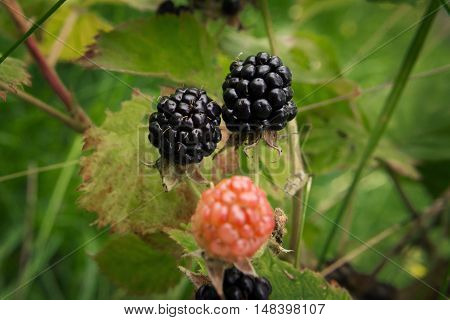 Three blackberries growing on a green Bush in the agricultural