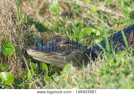 Florida alligator laying in the grass with head up