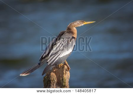 Anhinga sitting on a post with ocean in background