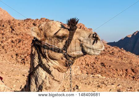 Camel in the Sinai desert - Egypt