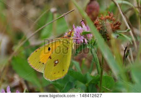 Colias hyale, the pale clouded yellow, is a butterfly of the family Pieridae