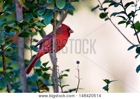 Northern Cardinal (Cardinalis cardinalis) hangs on a branch