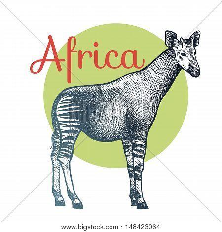 African animals. Okapi. Illustration Vector Art. Style Vintage engraving. Hand drawing.