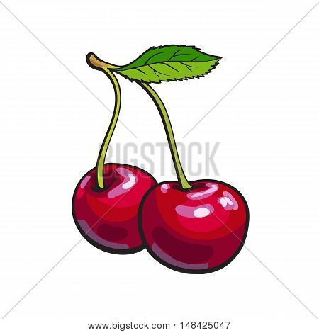 Ripe red cheery, realistic drawing vector illustration isolated on white background. Couple of cheeries on white background, botanical illustration, design element