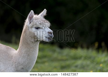 Close up of an Alpaca, chewing a single blade of grass, with room for copy