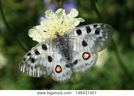 The Apollo butterfly (Parnassius apollo). Rare beautiful butterfly.