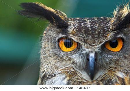 Eagle Owl Face