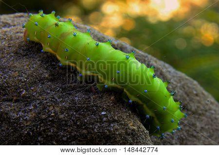 Great Peacock Moth macro pupa larvae to stone