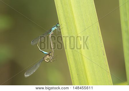 Blue-tailed Damselfly (Ischnura elegans) mating wheel resting on a leaf