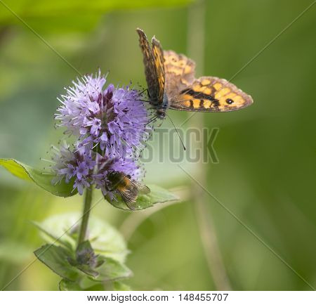 Wall Brown (Lasiommata megera) butterfly extracting nectar from Water Mint (Mentha aquatica) with open Wings
