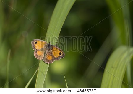 Gatekeeper (Pyronia tithonus) butterfly resting on a leaf with open Wings