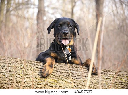 Portrait of a young rottweiler with happy face in the woods