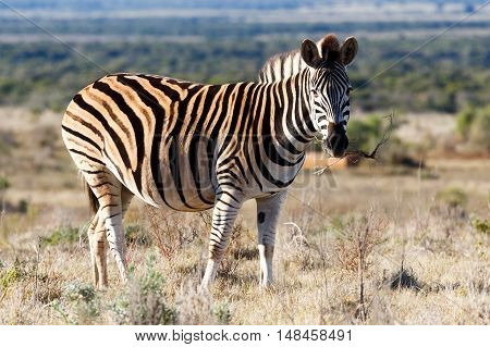 Eating Grass - Burchell's Zebra