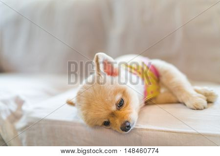 Tired and sleepy pomeranian dog wearing t-shirt sleeping on sofa with copy space concept of hanging over or Monday work