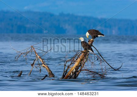 Bald Eagles sitting on tree stump, British Columbia Vancouver Island, Canada