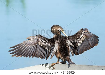 Anhinga with wings spread out and water in background