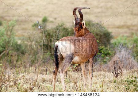 Red Hartebeest Looking At You With One Eye