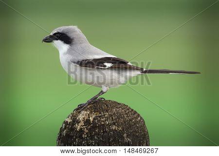 Loggerhead shrike also known as a butcher bird sits on a post.